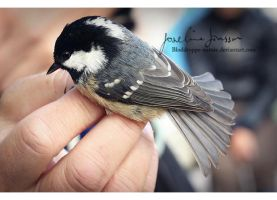_Coal Tit. by Bloddroppe-nature