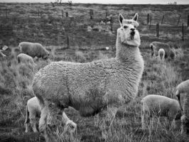 Who Wants Llamas? by SByrnes
