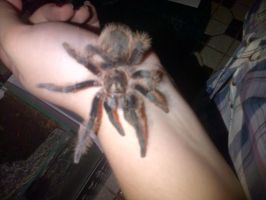 Charlie - Being held by an ex-arachnophobe by Green-EyedTiger