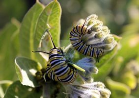 Psychedelic Caterpillers by Bluebuterfly72