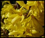 Forsythia by kram666