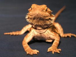 um bearded dragon by saprophyte333