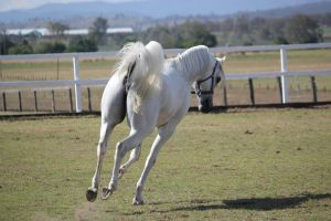 White Arabian/backview/ by xxMysteryStockxx