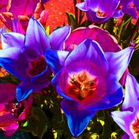 Blue, Purple and Pink Dream Tulips by Mireille31