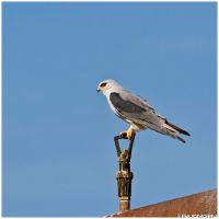 Black-winged Kite by Photographia-Paulo