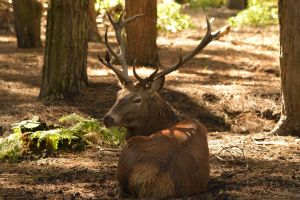 Red Deer Stag by C-Gis