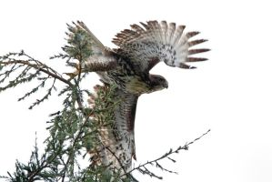 Red Tail Hawk Take off by bovey-photo