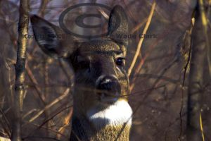 Early morning-Fall whitetail 2 by dogman63