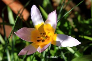 Wilde Tulpe / Wild Tulip by bluesgrass