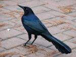 Male Great-Tailed Grackle II by austringer