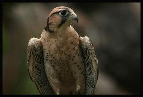 Birds of prey by Sarquindi
