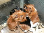Guinea Pig Babies 9 :Litter2: by ShadedRain