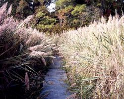 Path Through the Reeds by Echo104b