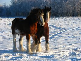 Clydesdale Geldings 9 by okbrightstar-stock
