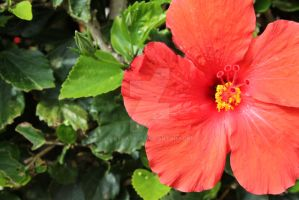 Hawaiian Hibiscus by ActCat808