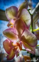 Double Orchids HDR by mjohanson