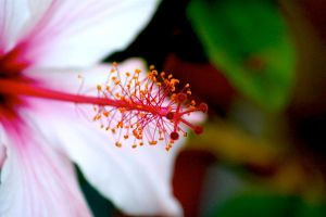 Chinese Hibiscus - IV by raptiye