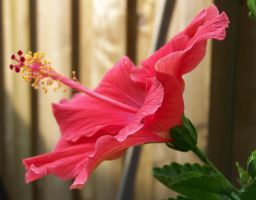 Hibiscus 2 by ShutterBugs-Stock