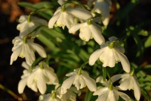Snowdrops in a winter sunset.. by amzb87