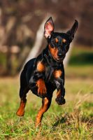 My Pinscher Ella by PictureByPali