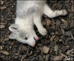 Baby arctic fox - eating leaf by woxys