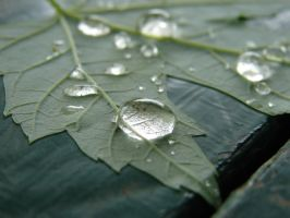 Water Drops on Veiny Leaf 4 by FantasyStock