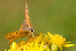 Small Copper by andabata