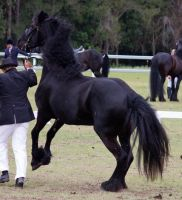 STOCK - Friesian Show 2012-139 by fillyrox