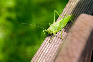 Large green grasshopper by duncan-blues