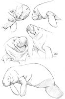 Manatee sketches by odontocete