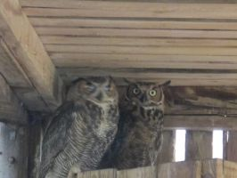 Young Great Horned Owls 7 by Windthin