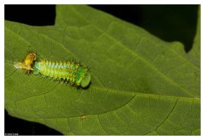 Polyphemus Caterpillar Molting by ewm