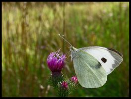 Cabbage Butterfly II by Pildik