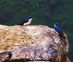Swiftlets at Machu Picchu by RockyMtnMinnie