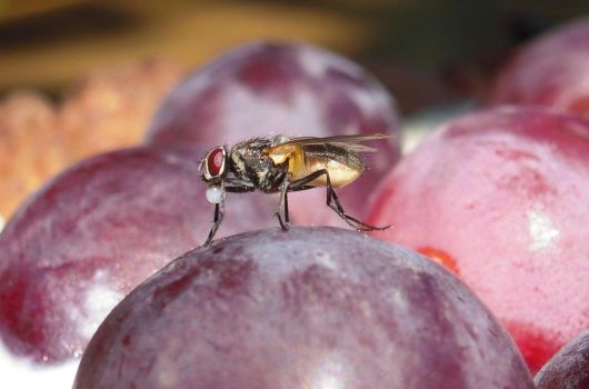 Fly on grapes by suosana