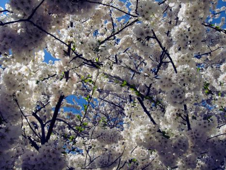 Cherry blossoms *) by bobneville
