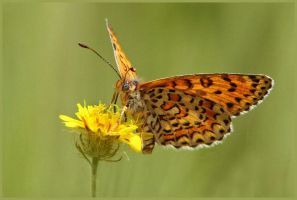 Lesser Spotted Fritillary by Jamie-MacArthur