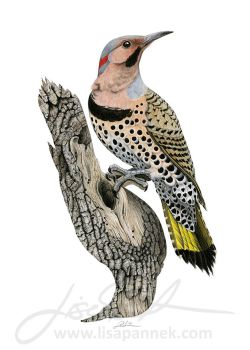 Yellow-shafted Flicker by LisaPannek