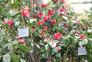 camellias in Flora garden house by ingeline-art
