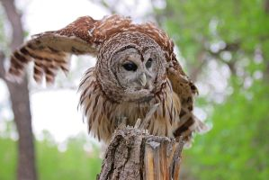 Oberon the Barred Owl by LorreesWorld