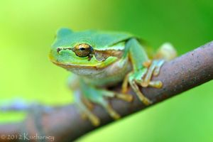 Hyla arborea IX by Dark-Raptor