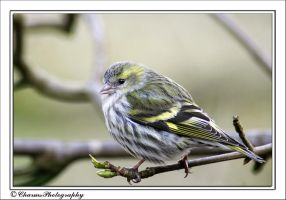 Siskin2 by CharmingPhotography