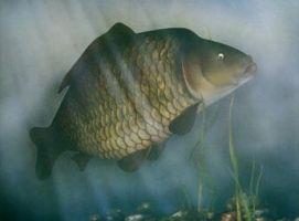 Common Carp by jamesgreen
