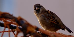 St Andrews Sparrow 2 by Yslen