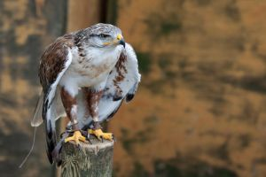 8097 - Ferruginous Hawk by Jay-Co