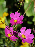 3 pink daisies by Mogrianne