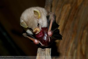 Cute little Bat eats Fig by OutOfSomewhere