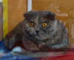 Scottish fold again by Yerahatte
