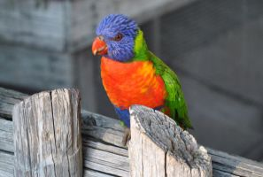 Lory by acors