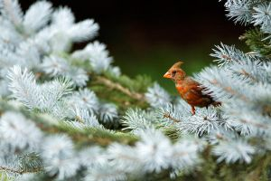 Juvenile Northern Cardinal by Jay-Co